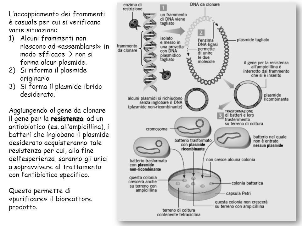 L'accoppiamento dei frammenti è casuale per cui si verificano varie situazioni: 1)Alcuni frammenti non riescono ad «assemblarsi» in modo efficace  no