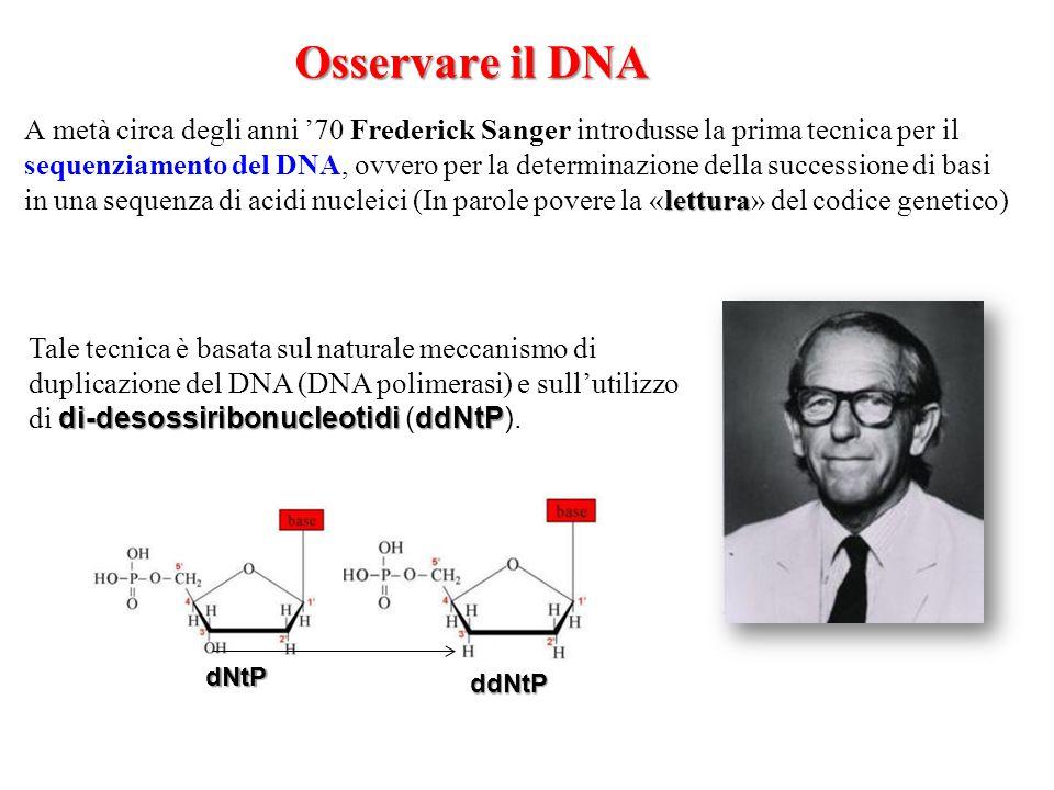 Osservare il DNA lettura A metà circa degli anni '70 Frederick Sanger introdusse la prima tecnica per il sequenziamento del DNA, ovvero per la determi
