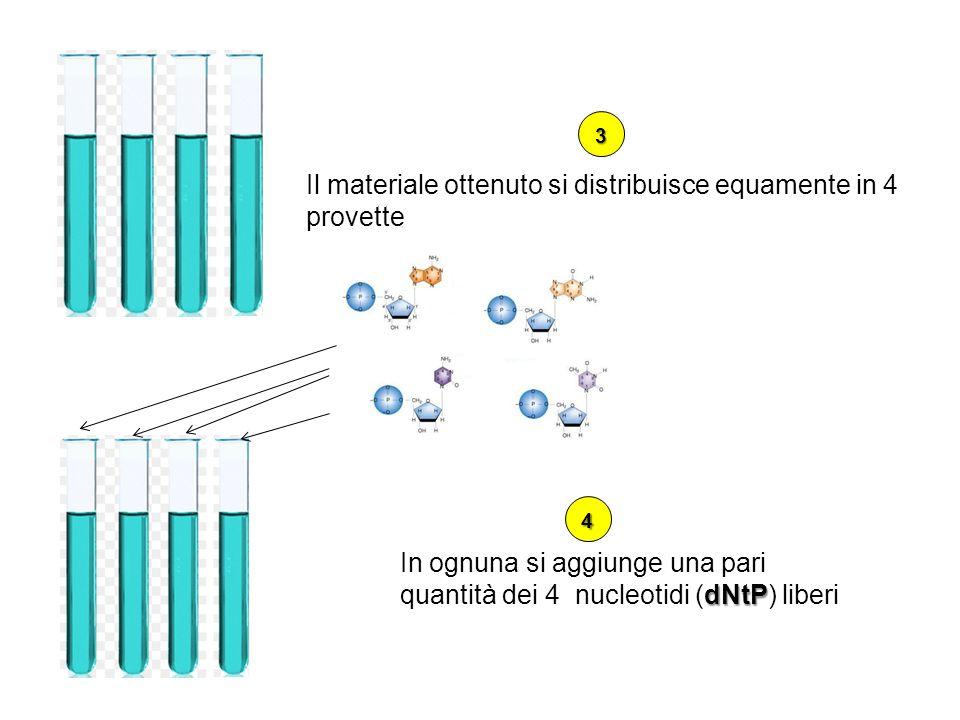 Il materiale ottenuto si distribuisce equamente in 4 provette dNtP In ognuna si aggiunge una pari quantità dei 4 nucleotidi (dNtP) liberi 3 4