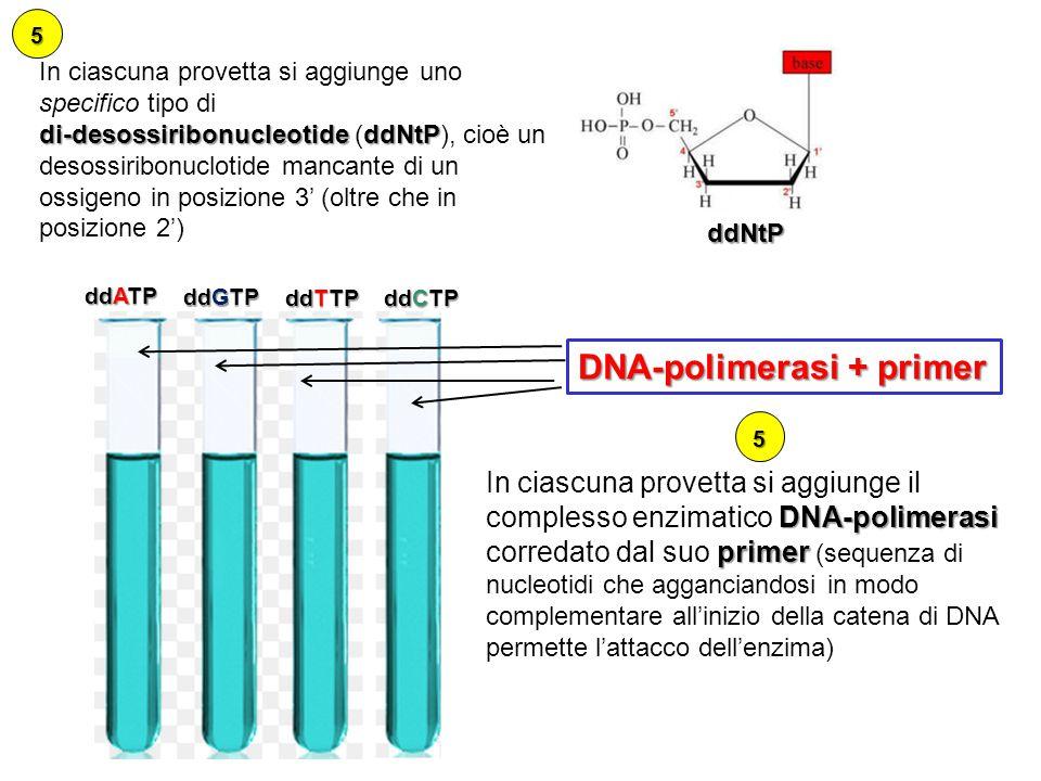 5 ddNtP In ciascuna provetta si aggiunge uno specifico tipo di di-desossiribonucleotideddNtP di-desossiribonucleotide (ddNtP), cioè un desossiribonucl