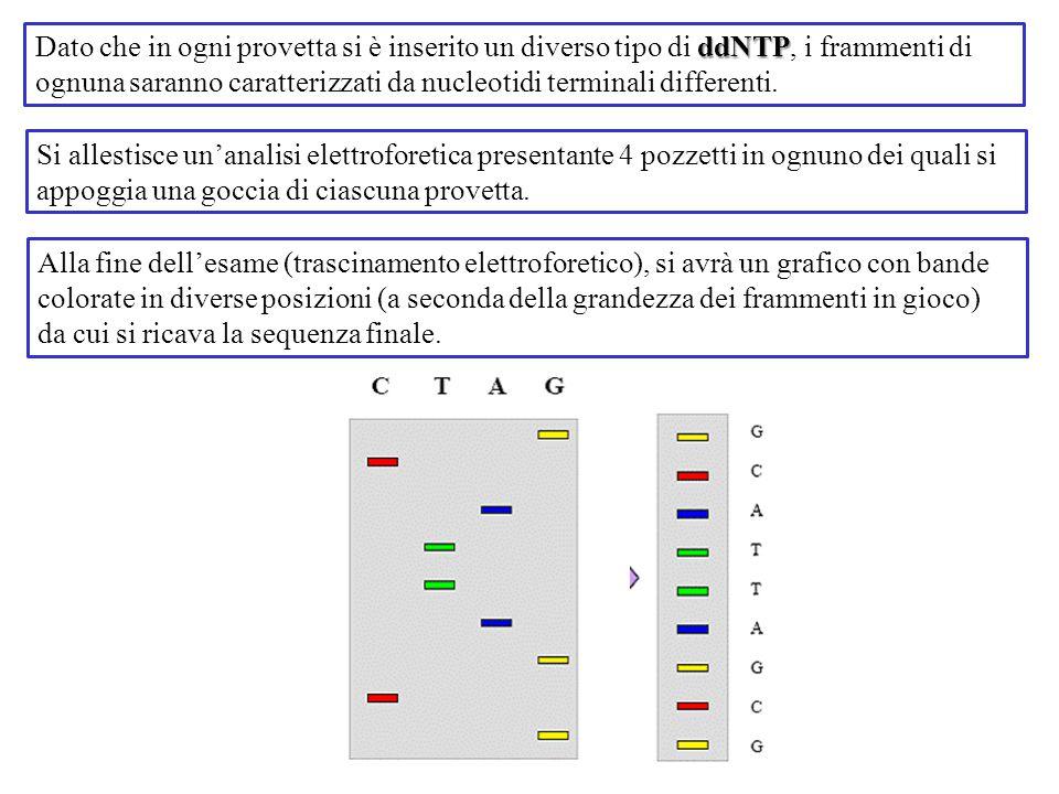 ddNTP Dato che in ogni provetta si è inserito un diverso tipo di ddNTP, i frammenti di ognuna saranno caratterizzati da nucleotidi terminali different