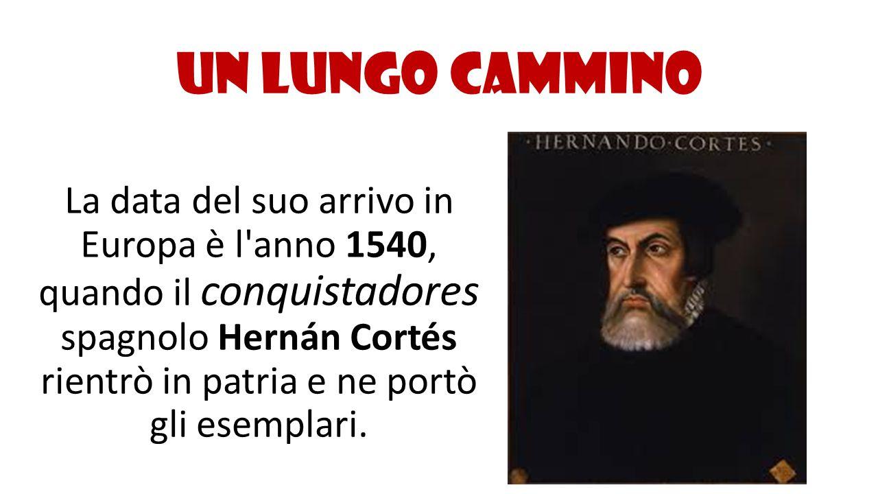 Un lungo cammino La data del suo arrivo in Europa è l'anno 1540, quando il conquistadores spagnolo Hernán Cortés rientrò in patria e ne portò gli esem