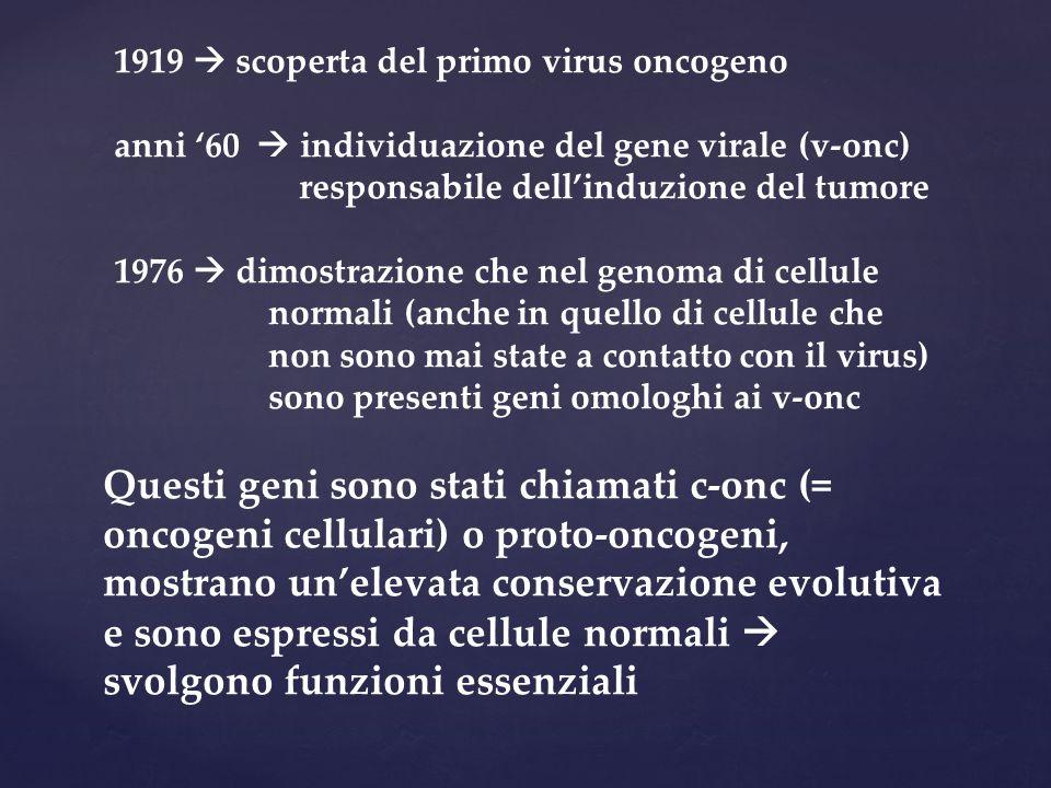 1919  scoperta del primo virus oncogeno anni '60  individuazione del gene virale (v-onc) responsabile dell'induzione del tumore 1976  dimostrazione