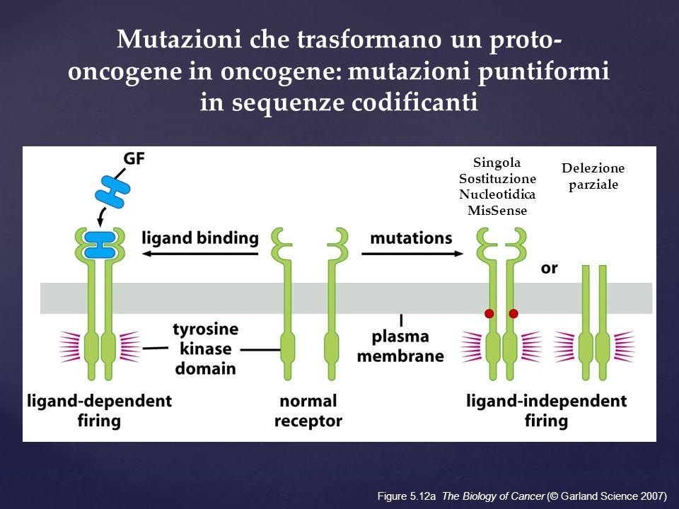 Figure 5.12a The Biology of Cancer (© Garland Science 2007) Mutazioni che trasformano un proto- oncogene in oncogene: mutazioni puntiformi in sequenze