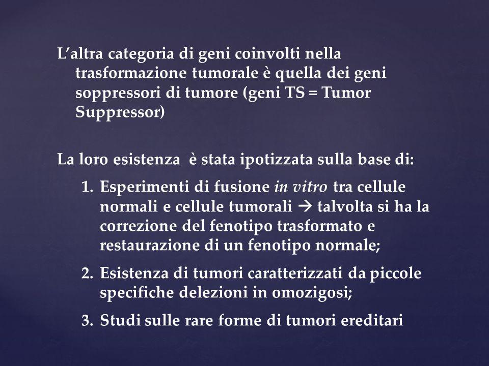 L'altra categoria di geni coinvolti nella trasformazione tumorale è quella dei geni soppressori di tumore (geni TS = Tumor Suppressor) La loro esisten