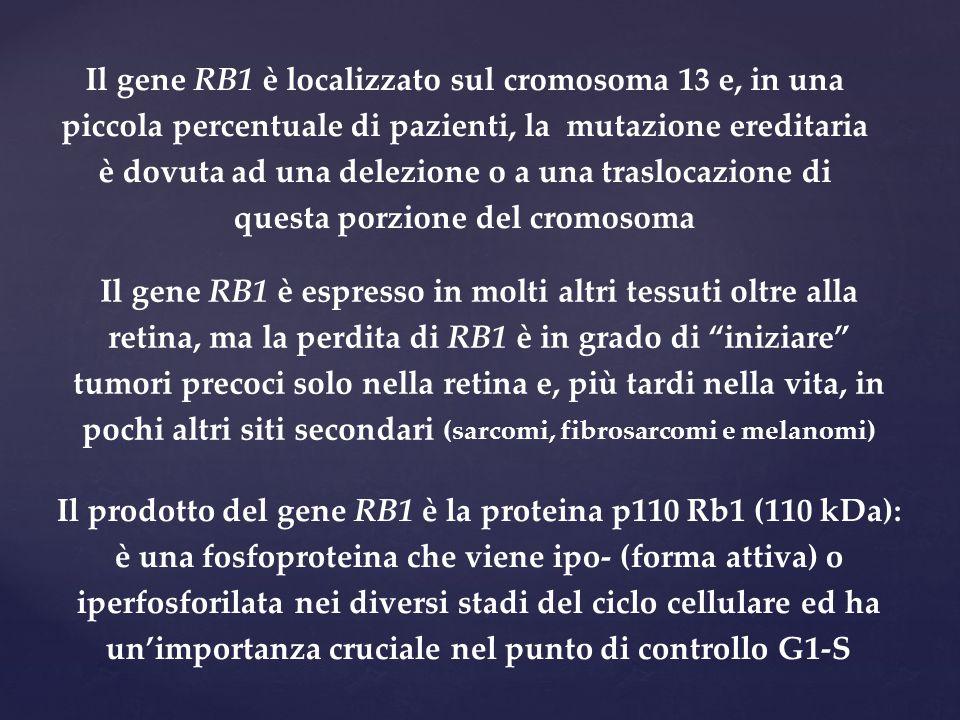 """Il gene RB1 è espresso in molti altri tessuti oltre alla retina, ma la perdita di RB1 è in grado di """"iniziare"""" tumori precoci solo nella retina e, più"""
