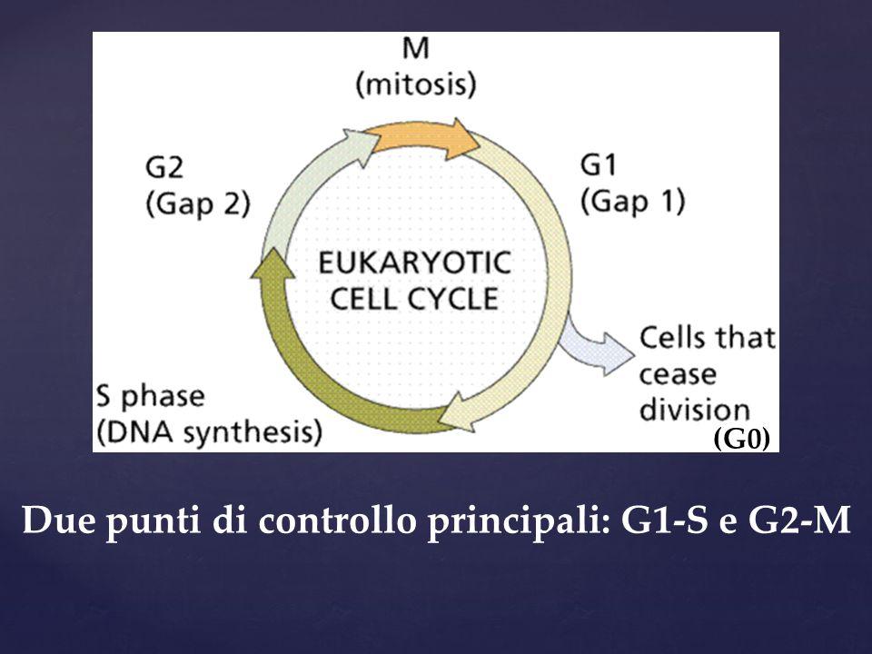 Due punti di controllo principali: G1-S e G2-M (G0)
