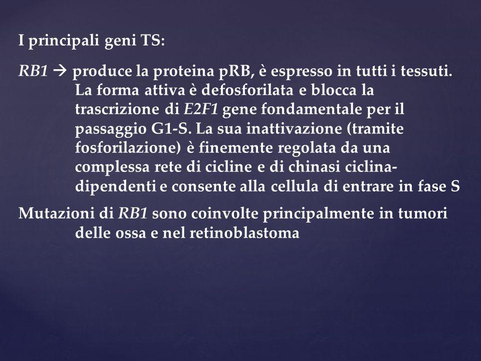 I principali geni TS: RB1  produce la proteina pRB, è espresso in tutti i tessuti. La forma attiva è defosforilata e blocca la trascrizione di E2F1 g