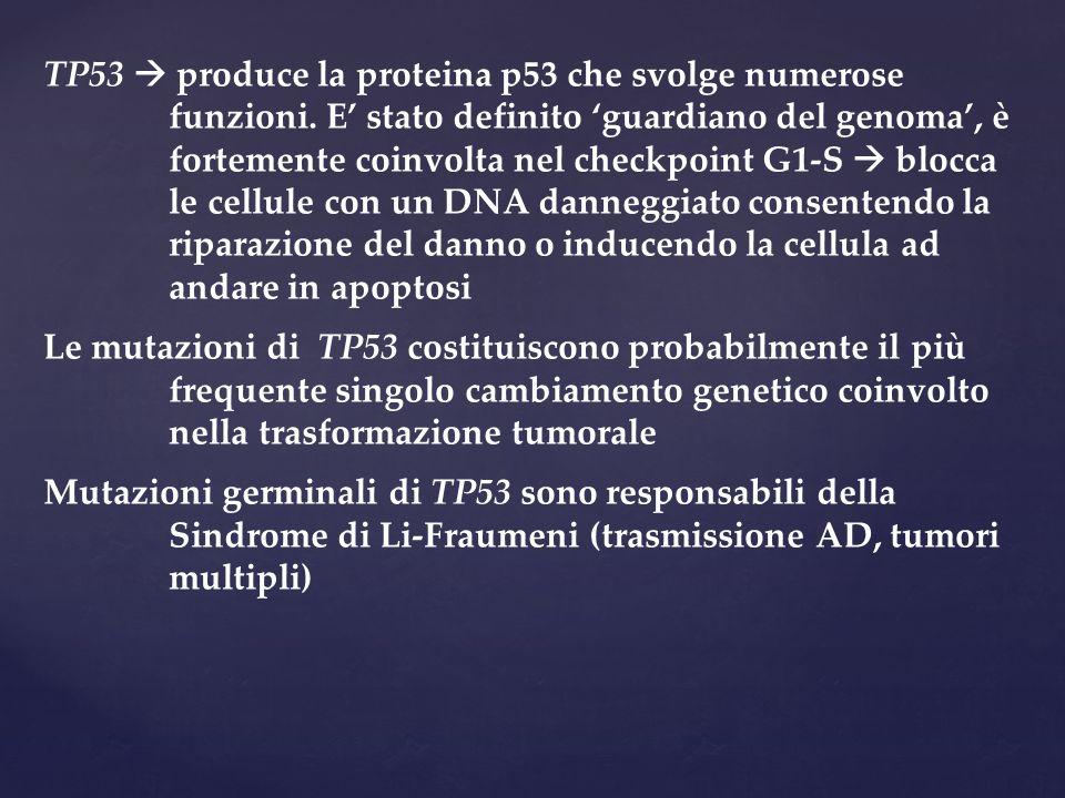 TP53  produce la proteina p53 che svolge numerose funzioni. E' stato definito 'guardiano del genoma', è fortemente coinvolta nel checkpoint G1-S  bl