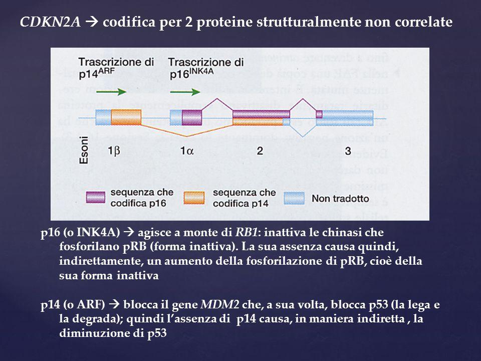 CDKN2A  codifica per 2 proteine strutturalmente non correlate p16 (o INK4A)  agisce a monte di RB1: inattiva le chinasi che fosforilano pRB (forma i
