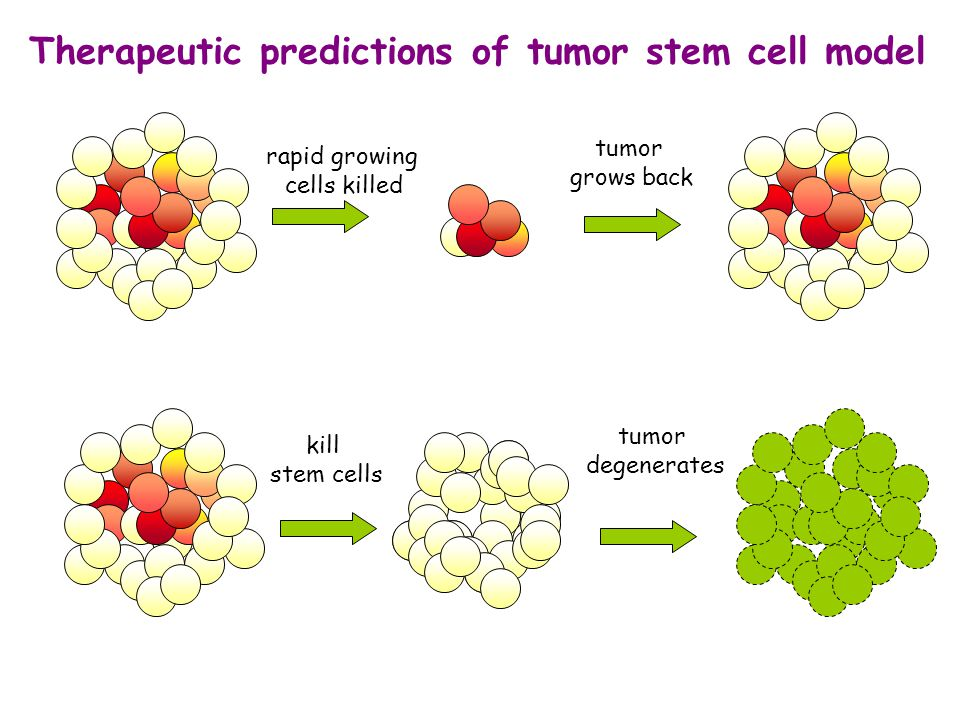 tumor grows back tumor degenerates Therapeutic predictions of tumor stem cell model rapid growing cells killed kill stem cells