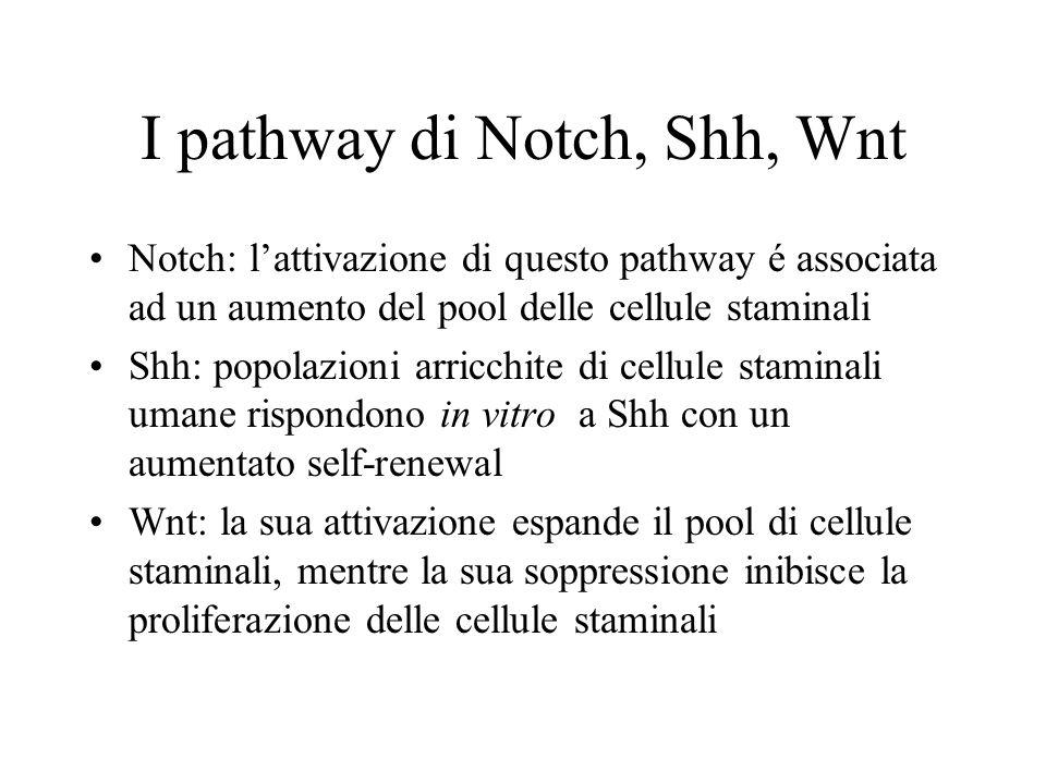 I pathway di Notch, Shh, Wnt Notch: l'attivazione di questo pathway é associata ad un aumento del pool delle cellule staminali Shh: popolazioni arricc