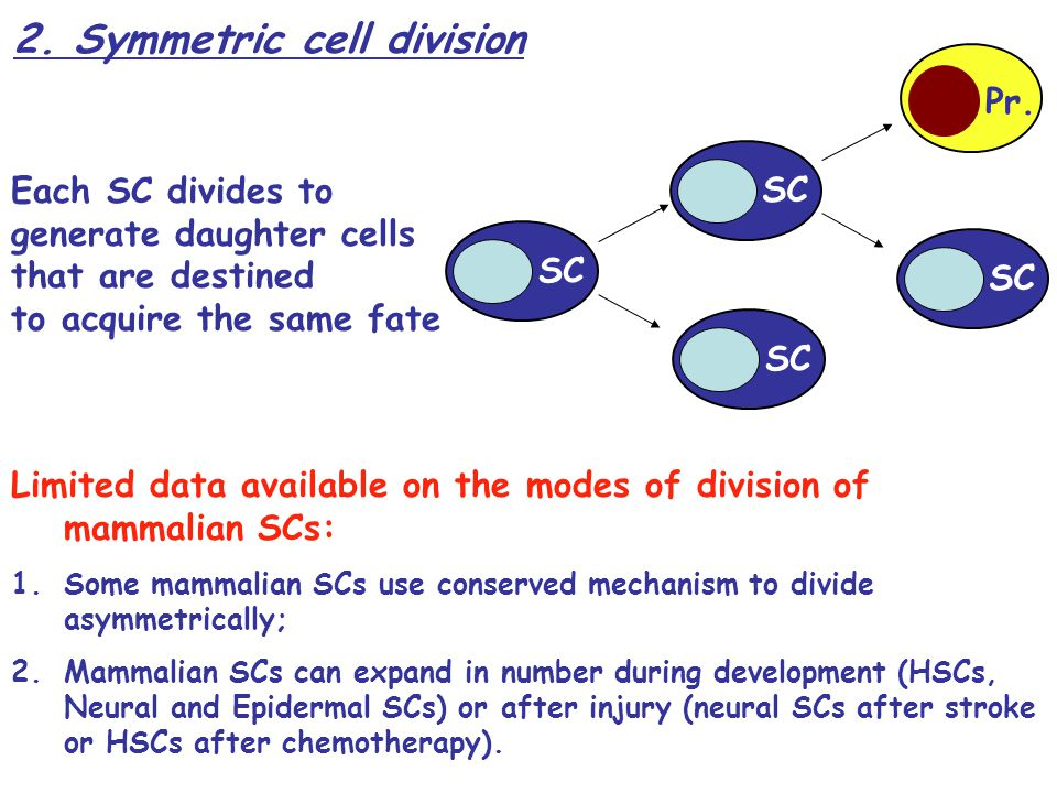 2. Symmetric cell division Each SC divides to generate daughter cells that are destined to acquire the same fate SC Pr. SC Limited data available on t