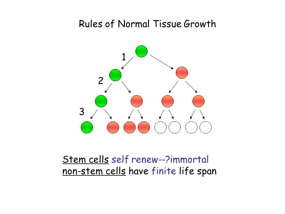 1 3 2 Stem cells self renew--?immortal non-stem cells have finite life span Rules of Normal Tissue Growth