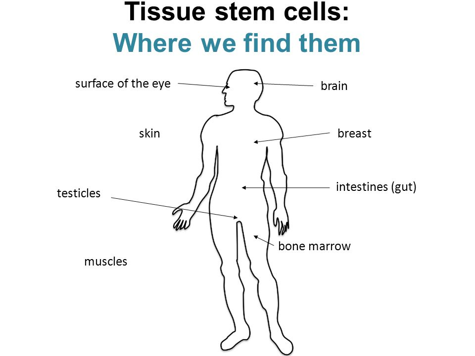 Tissue stem cells: Where we find them muscles skin surface of the eye brain breast intestines (gut) bone marrow testicles