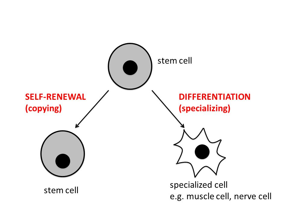 stem cell SELF-RENEWAL (copying) specialized cell e.g.
