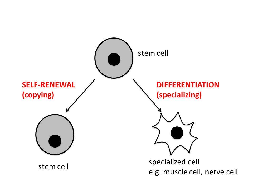Cosa sono le cancer stem cells (CSC)???.