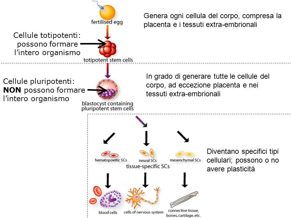 Genera ogni cellula del corpo, compresa la placenta e i tessuti extra-embrionali Cellule totipotenti: possono formare l'intero organismo Cellule pluri