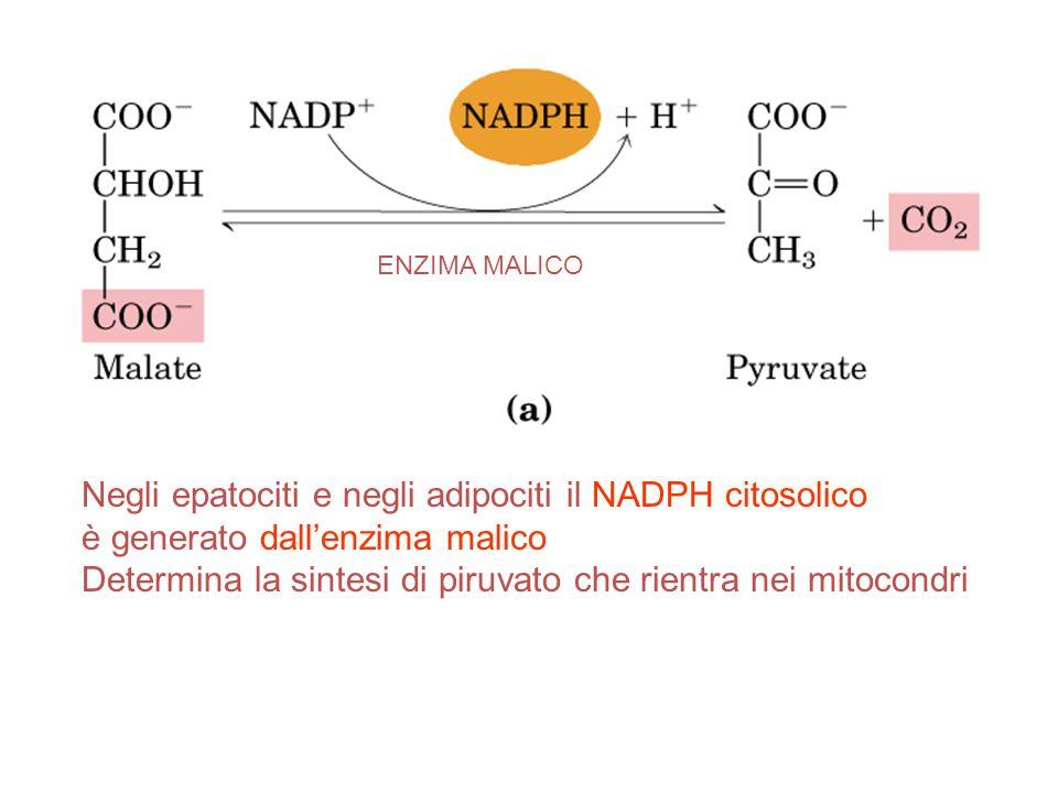 Negli epatociti e negli adipociti il NADPH citosolico è generato dall'enzima malico Determina la sintesi di piruvato che rientra nei mitocondri ENZIMA