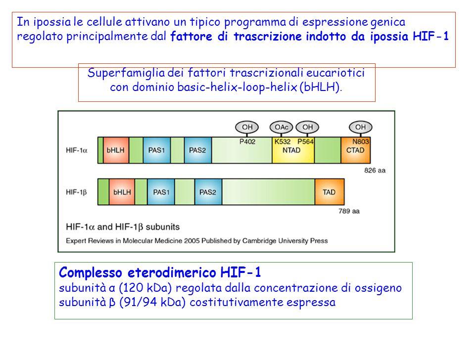 In ipossia le cellule attivano un tipico programma di espressione genica regolato principalmente dal fattore di trascrizione indotto da ipossia HIF-1