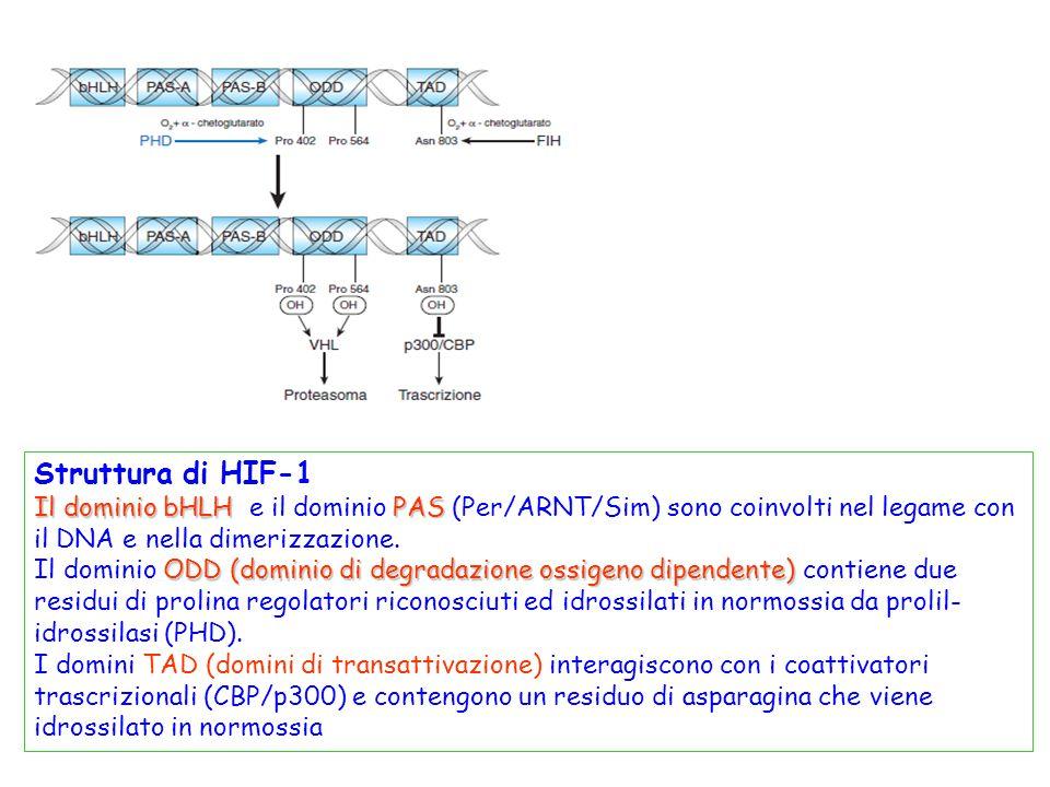 prolinnnnnnnnnnnnn Struttura di HIF-1 Il dominio bHLHPAS Il dominio bHLH e il dominio PAS (Per/ARNT/Sim) sono coinvolti nel legame con il DNA e nella