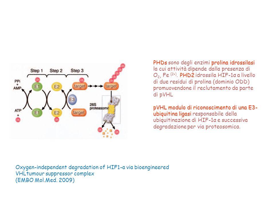 PHDs prolina idrossilasi PHD2 PHDs sono degli enzimi prolina idrossilasi la cui attività dipende dalla presenza di O 2, Fe (2+). PHD2 idrossila HIF-1α
