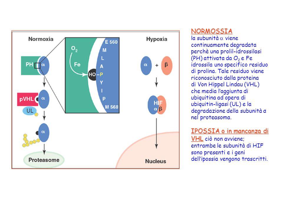 NORMOSSIA la subunità  viene continuamente degradata perchè una prolil-idrossilasi (PH) attivata da O 2 e Fe idrossila uno specifico residuo di proli