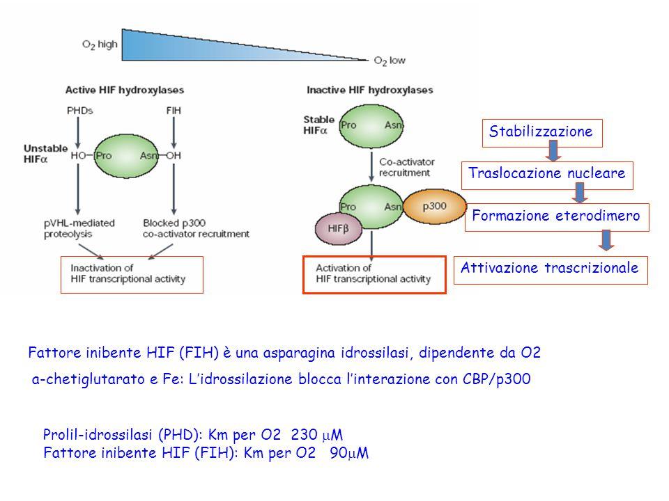 Stabilizzazione Traslocazione nucleare Formazione eterodimero Attivazione trascrizionale Fattore inibente HIF (FIH) è una asparagina idrossilasi, dipe
