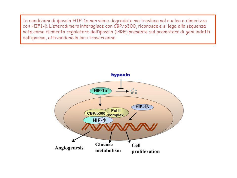 In condizioni di ipossia HIF-1  non viene degradato ma trasloca nel nucleo e dimerizza con HIF1-  L'eterodimero  interagisce con CBP/p300,  ric