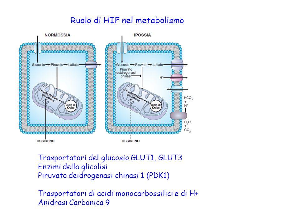 Ruolo di HIF nel metabolismo Trasportatori del glucosio GLUT1, GLUT3 Enzimi della glicolisi Piruvato deidrogenasi chinasi 1 (PDK1) Trasportatori di ac