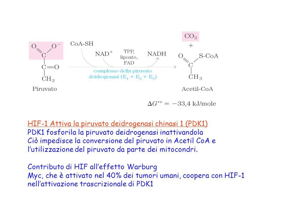 HIF-1 Attiva la piruvato deidrogenasi chinasi 1 (PDK1) PDK1 fosforila la piruvato deidrogenasi inattivandola Ciò impedisce la conversione del piruvato
