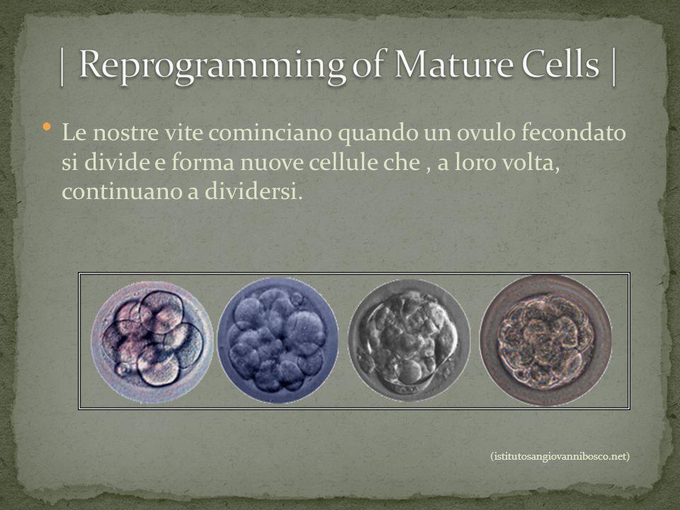 Le nostre vite cominciano quando un ovulo fecondato si divide e forma nuove cellule che, a loro volta, continuano a dividersi. (istitutosangiovannibos