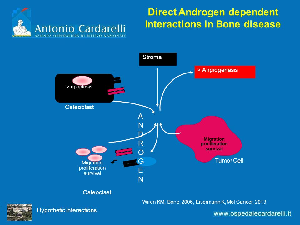 Direct Androgen dependent Interactions in Bone disease Hypothetic interactions. Stroma > Angiogenesis Osteoblast Tumor Cell Osteoclast Migration proli