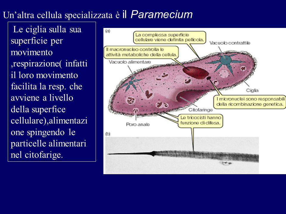 Sembrerebbe che l'origine degli eucarioti si possa essere realizzata attraverso un processo di SIMBIOSI ossia alcuni batteri(cellule procariotiche) in