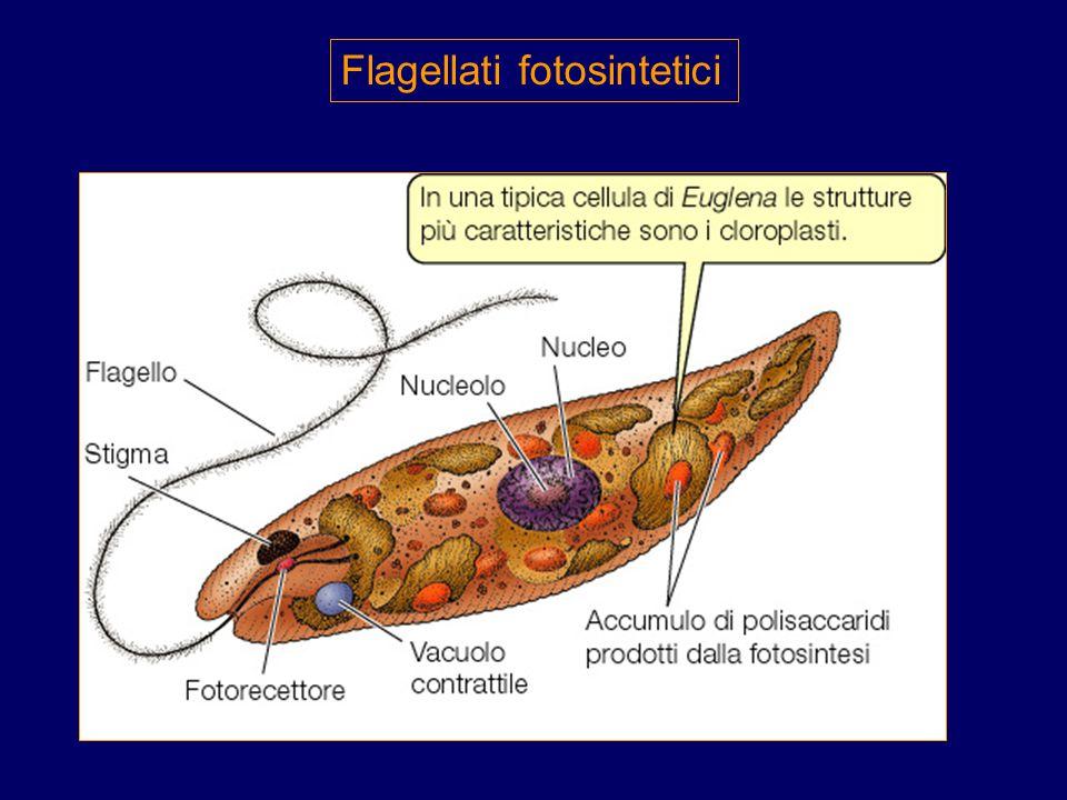 Un'altra cellula specializzata è il Paramecium Le ciglia sulla sua superficie per movimento,respirazione( infatti il loro movimento facilita la resp.