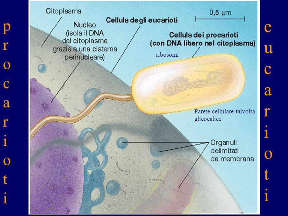 0.1nm 1 a 10nm popolazione comunità ecosistemi La materia è organizzata in : Un insieme organizzato di molecole caratterizza Cellula eucariota base co