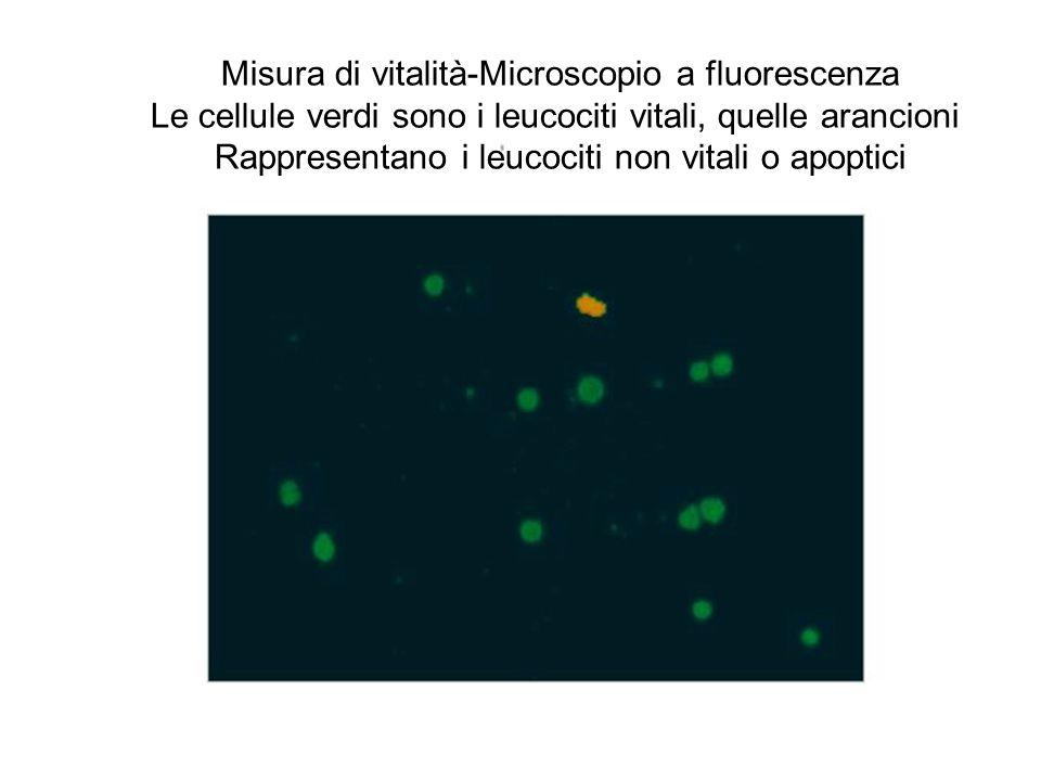 Misura di vitalità-Microscopio a fluorescenza Le cellule verdi sono i leucociti vitali, quelle arancioni Rappresentano i leucociti non vitali o apopti