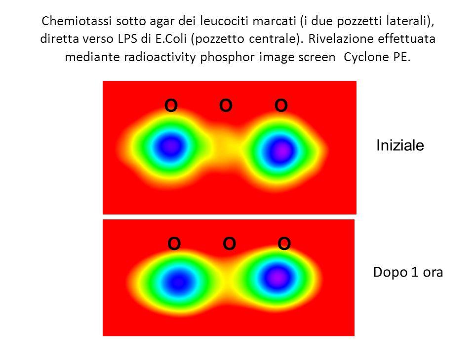 Chemiotassi sotto agar dei leucociti marcati (i due pozzetti laterali), diretta verso LPS di E.Coli (pozzetto centrale). Rivelazione effettuata median