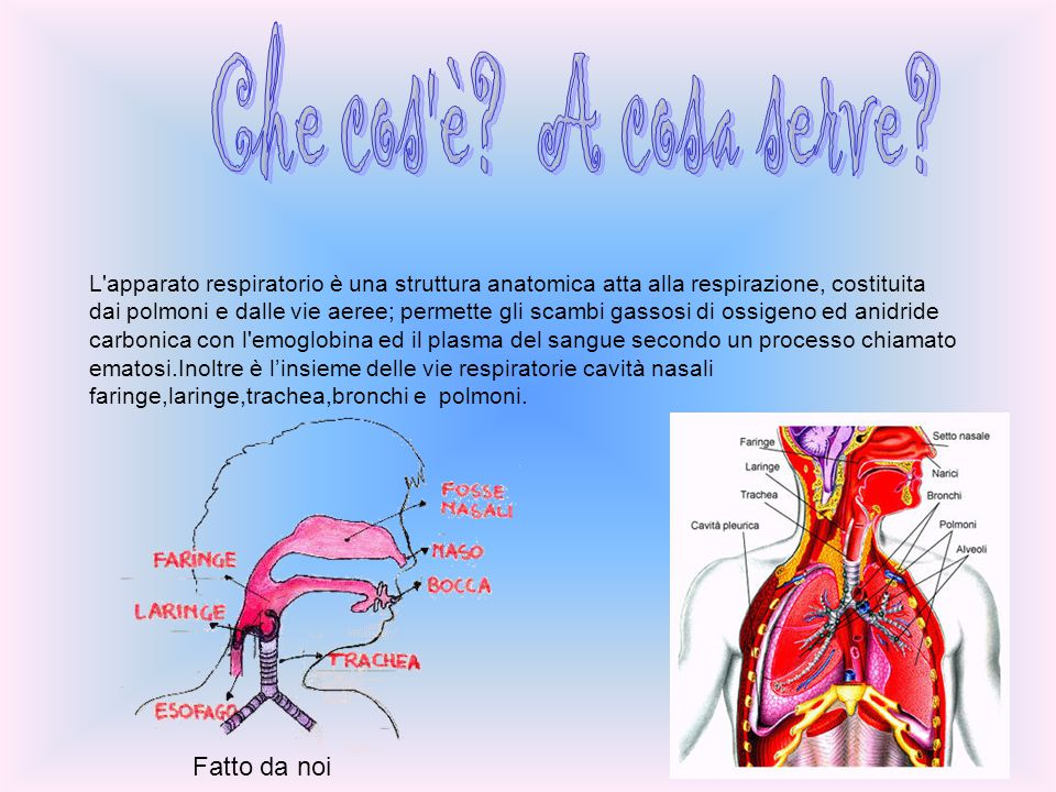 L'apparato respiratorio è una struttura anatomica atta alla respirazione, costituita dai polmoni e dalle vie aeree; permette gli scambi gassosi di oss
