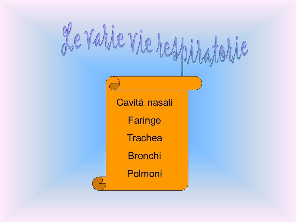 Cavità nasali Faringe Trachea Bronchi Polmoni