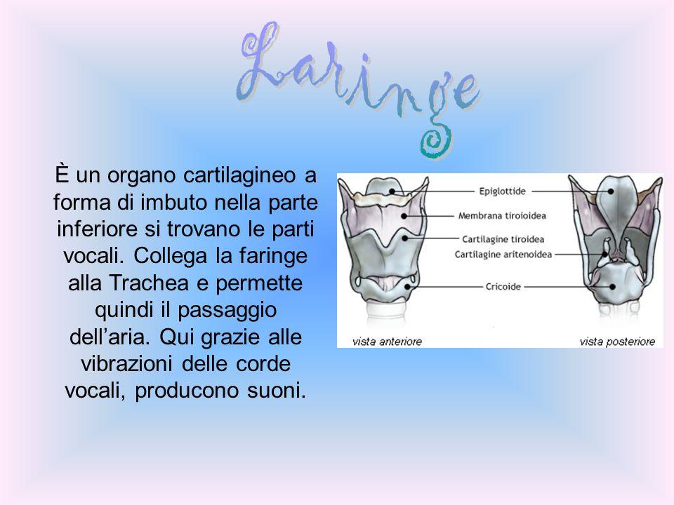 È un organo cartilagineo a forma di imbuto nella parte inferiore si trovano le parti vocali. Collega la faringe alla Trachea e permette quindi il pass