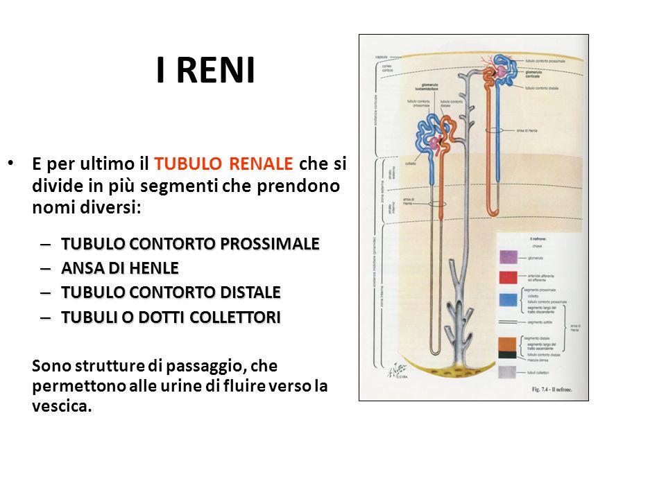 I RENI E per ultimo il TUBULO RENALE che si divide in più segmenti che prendono nomi diversi: – TUBULO CONTORTO PROSSIMALE – ANSA DI HENLE – TUBULO CO