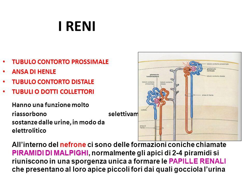 VIE URINIFERE Convogliano l'urina prodotta dal rene verso l'esterno Le papille renali sono abbracciate dai CALICI RENALI MINORI che confluiscono in altri tubi più grandi i CALICI RENALI MAGGIORI Questi calici si riuniscono in una cavità più ampia il BACINETTO RENALE, a forma di ampolla che si restringe verso il basso per continuarsi con l'URETERE