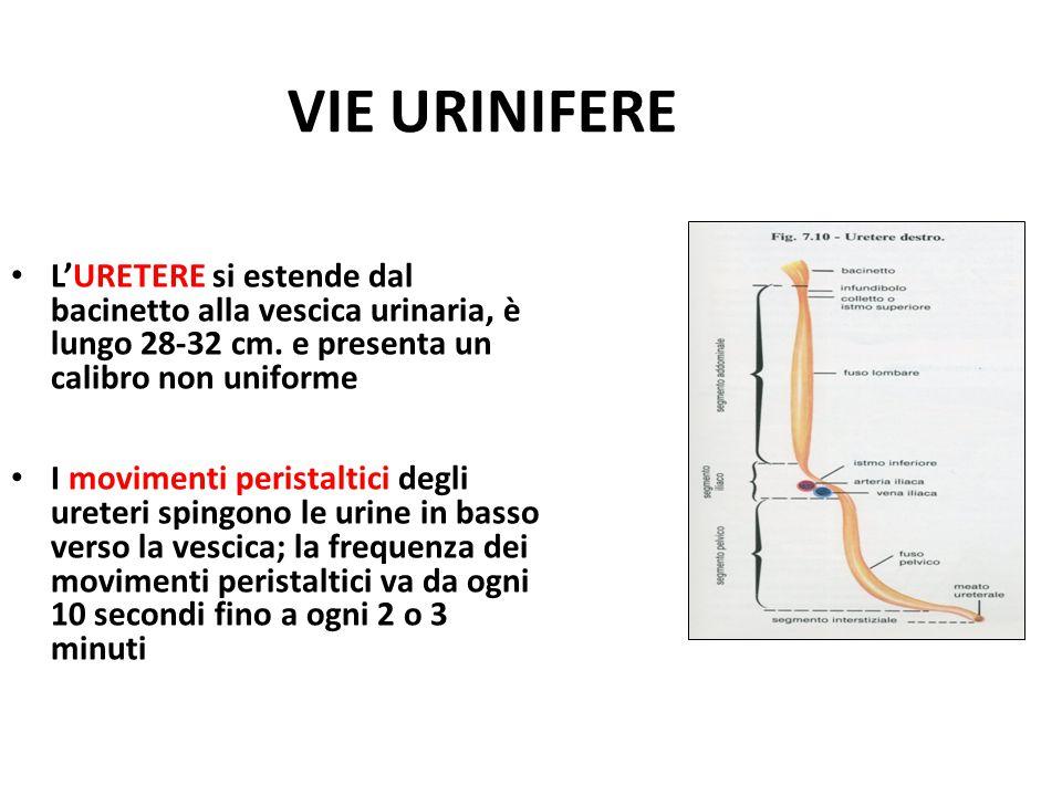 VIE URINIFERE L'URETERE si estende dal bacinetto alla vescica urinaria, è lungo 28-32 cm. e presenta un calibro non uniforme I movimenti peristaltici