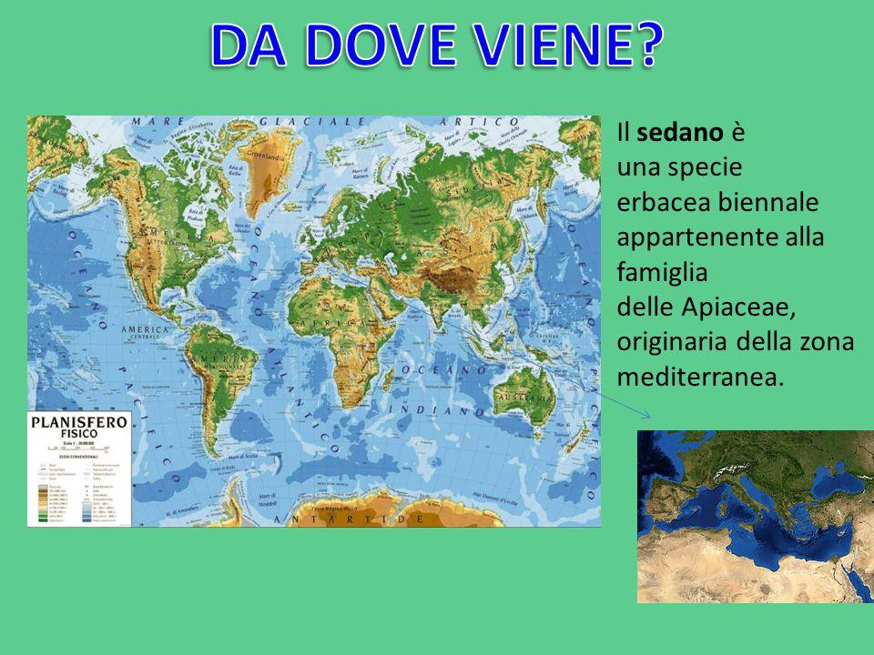 Il sedano è una specie erbacea biennale appartenente alla famiglia delle Apiaceae, originaria della zona mediterranea.