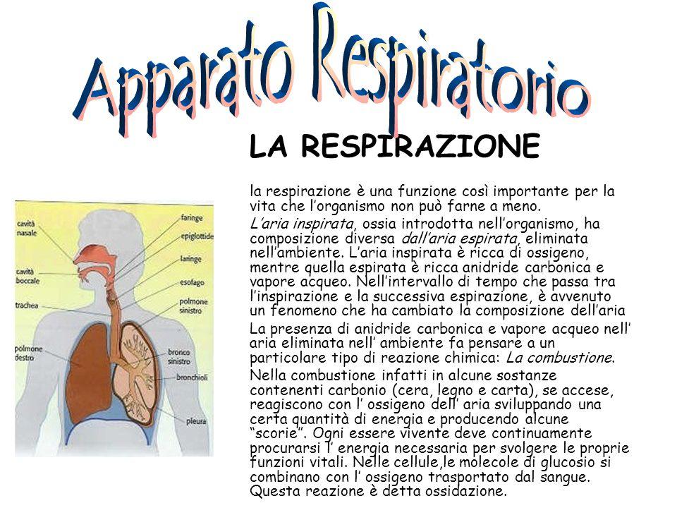 L'APPARATO RESPIRATORIO L'apparato respiratorio è un insieme di organi che hanno il compito di Rifornire di ossigeno le cellule Eliminare l'anidride carbonica prodotta dall'ossidazione del glucosio e delle altre sostanze organiche