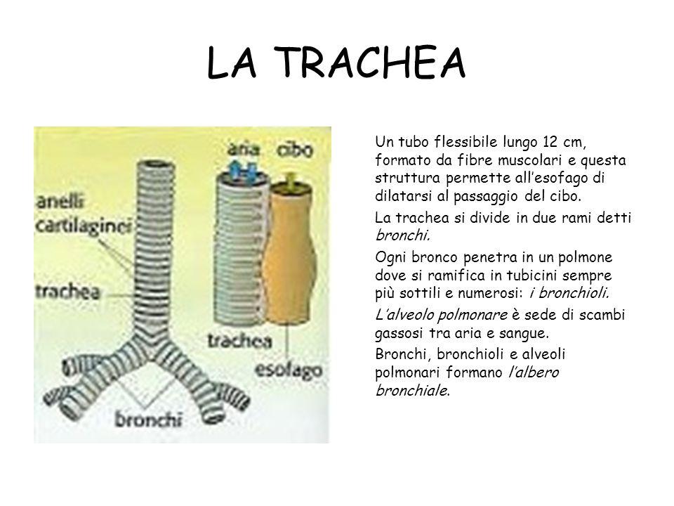 LA TRACHEA Un tubo flessibile lungo 12 cm, formato da fibre muscolari e questa struttura permette all'esofago di dilatarsi al passaggio del cibo. La t