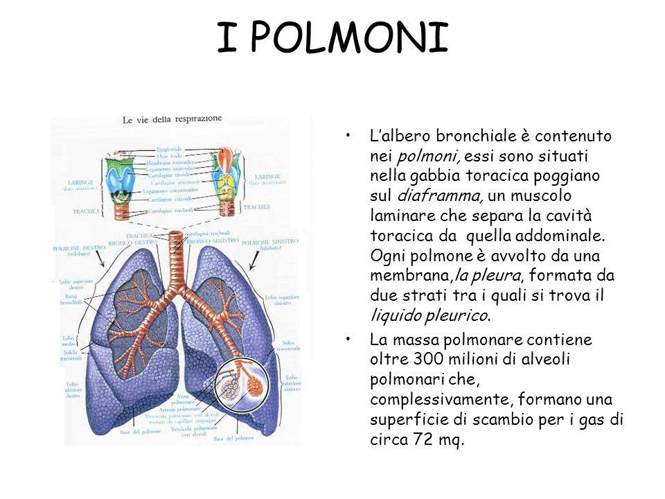 I POLMONI L'albero bronchiale è contenuto nei polmoni, essi sono situati nella gabbia toracica poggiano sul diaframma, un muscolo laminare che separa