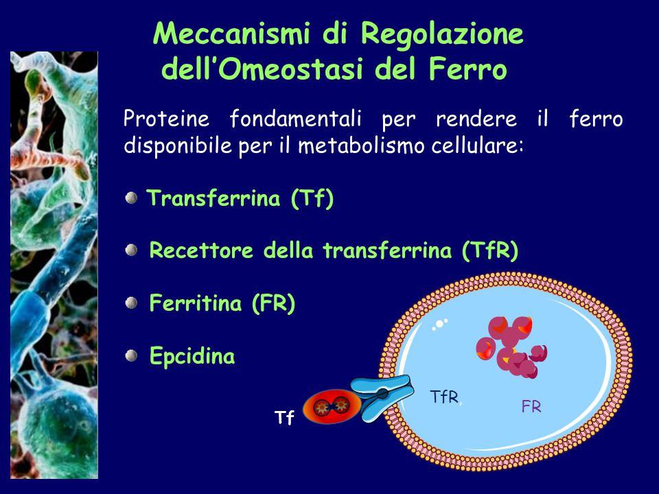 Meccanismi di Regolazione dell'Omeostasi del Ferro Proteine fondamentali per rendere il ferro disponibile per il metabolismo cellulare: Transferrina (