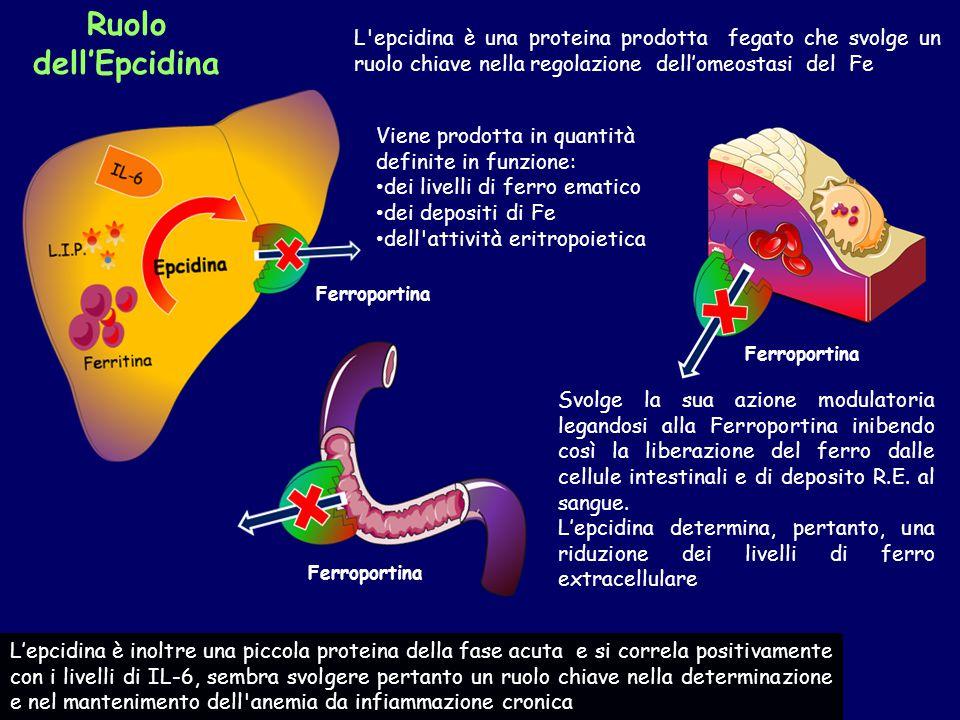 Ruolo dell'Epcidina L'epcidina è una proteina prodotta fegato che svolge un ruolo chiave nella regolazione dell'omeostasi del Fe Viene prodotta in qua